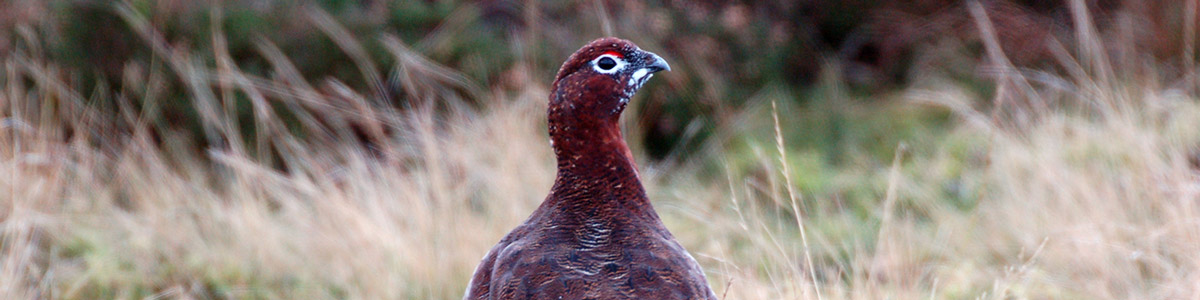 History of Red Grouse Shooting