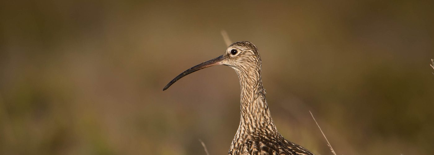 curlews protection